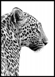 Profile of leopard